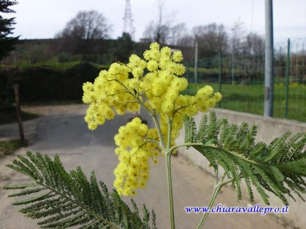 MIMOSE (2)