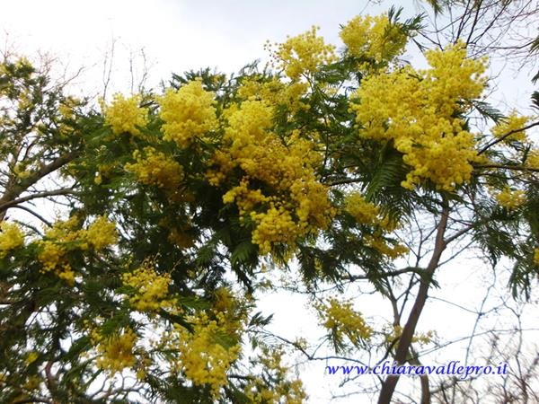 MIMOSE (5)