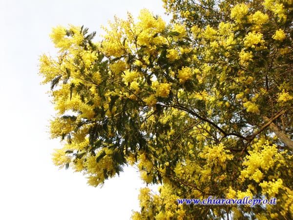 MIMOSE (7)